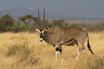 Antelope beisa oryx standing on yellow grass