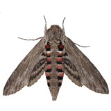 Convolvulus Hawk-moth, (Agrius convolvuli)  isolated on white