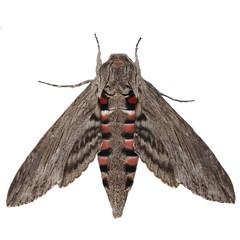 Convolvulus Hawk-moth, (Agrius convolvuli)  isolated on white