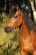Gorgeous pony mare with nice show halter
