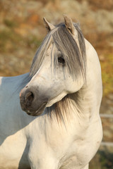 Gorgeous white stallion of welsh mountain pony
