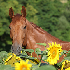 Beautiful horse in sunflowers