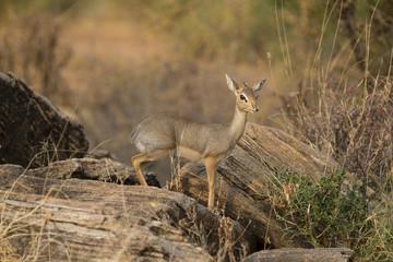 Dik-dik ewe antelope on rock
