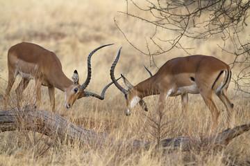 Two impala rams on dispute