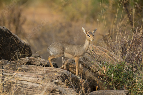 Dik-dik ewe antelope on rock