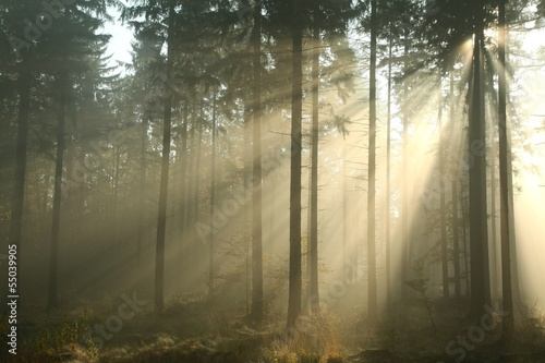 Fotobehang Bos in mist Coniferous forest on a misty autumn morning