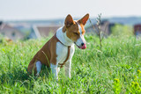 Meet Basenji - most tidy dog that licks itself constantly.
