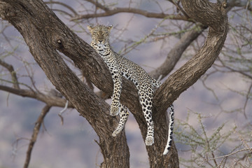 Leopard resting on a tree branch at dusk