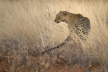 Leopard on the prowl in yellow grass