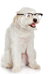 portrait of a dog in glasses.  Funny white dog in glasses