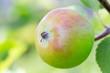 Sun-kissed apple on tree