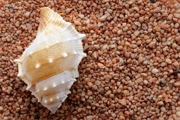 Tropical seashell on sand