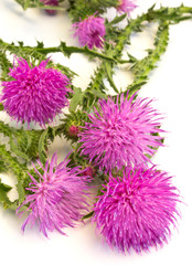 Burdock flowers (Arctium lappa)