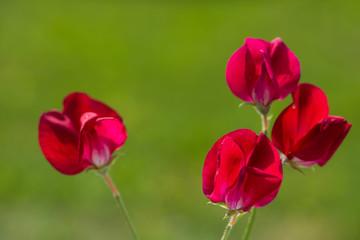 Rote Edelwicke