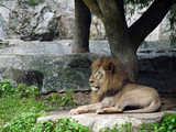 lion lies down for surveillance