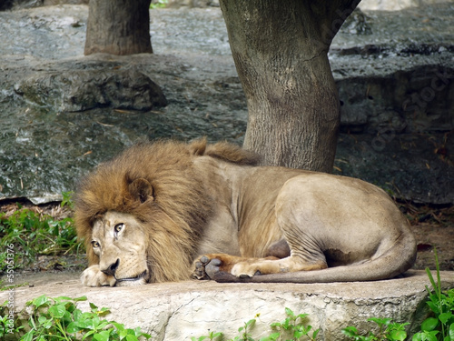 lazy lion lies down