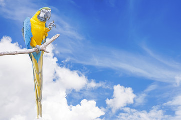 Blue-and-yellow Macaw Ara ararauna on blue sky background