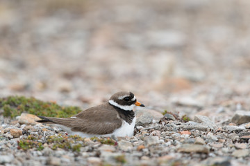 Sandregenpfeifer, Common Ringed Plover, Charadrius hiaticula