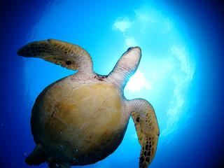 頭上を泳ぐ海亀