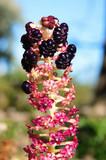 Indian poke, pokeweed or pokeberry (phytolacca acinosa). poster