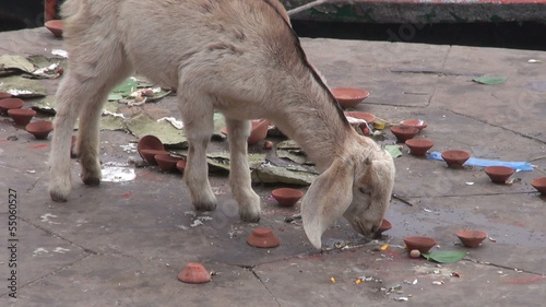goat and boats on sacred indian river Ganges in Varanasi