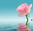 Śliczna róża w wodzie