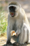 Male vervet monkey eating and displaying teeth