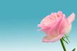 Róża na niebieskim tle