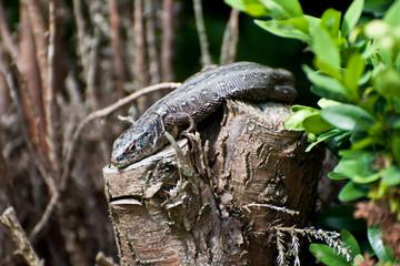 The Lizard 5