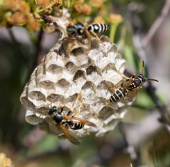 wasps on comb in nature
