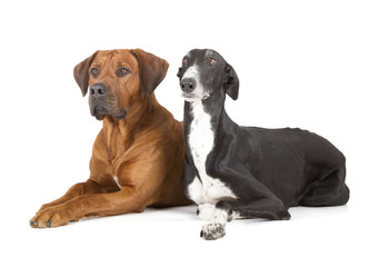 greyhound and rhodesian ridgeback