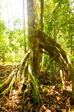 Tree with buttress roots in tropical rainforest