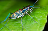 Macro of tiger beetle on green leaf at night