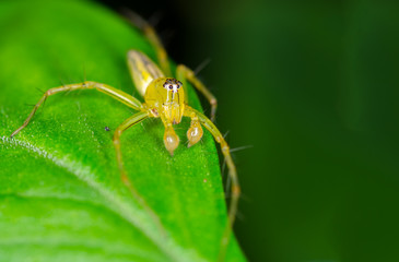 Macro of lynx spider on green leaf