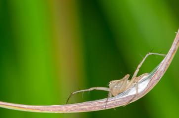 Macro of lynx spider on green leaf