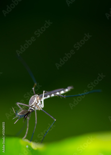 Mosquito resting on green leaf