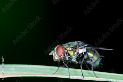Macro of house fly