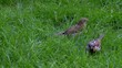 Two sparrows on the grass isolated