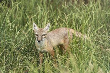 Corsac fox, vulpes corsac
