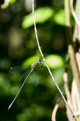 Libellula verde sfondo verde