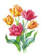 Постер, плакат: Тюльпаны на белом фоне акварель