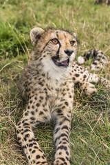 Yuong cheetah lying in the grass