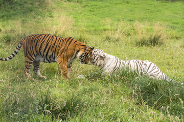Two bengal tigers - white and orange