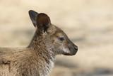 Bennett Wallaby, Tasmanien, Australien