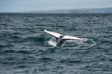 Weiße Buckelwalflosse