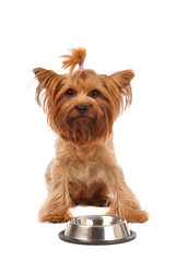 Cute yorkshire terrier portrait with empty bowl