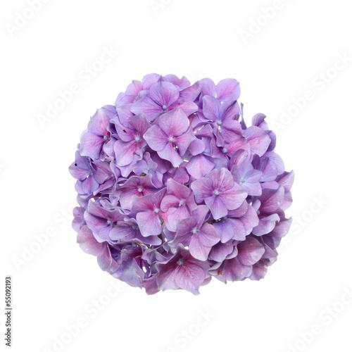 In de dag Hydrangea Hydrangea