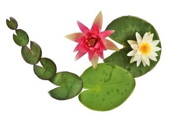 Seerose , Blätter und Blüten