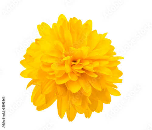 Papiers peints Dahlia yellow chrysanthemum isolated