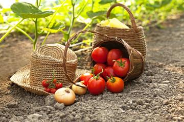 Picking fresh vegetables